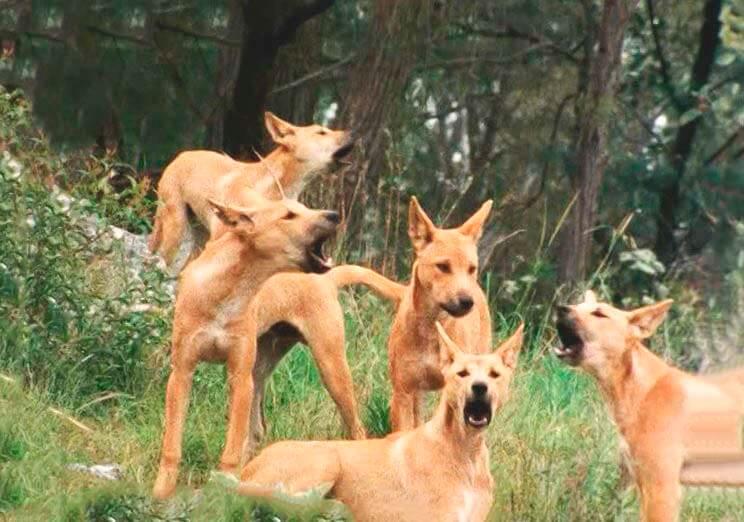 Стая собак Динго