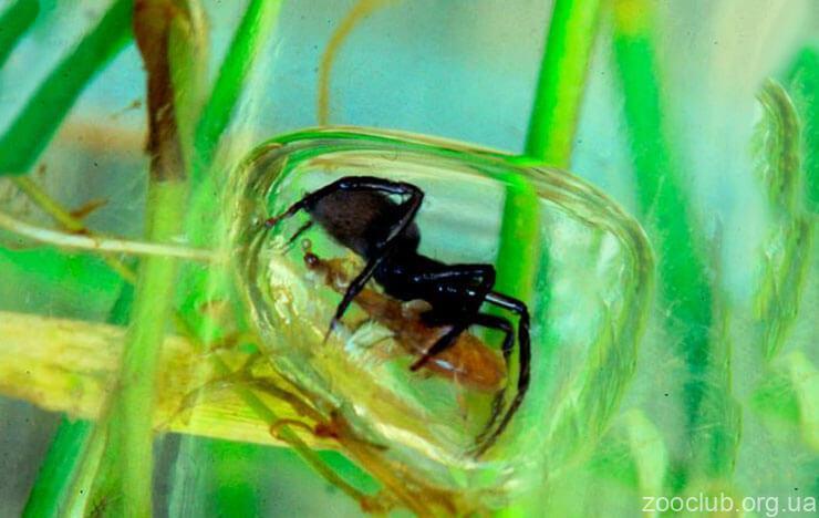 Водяной паук фото