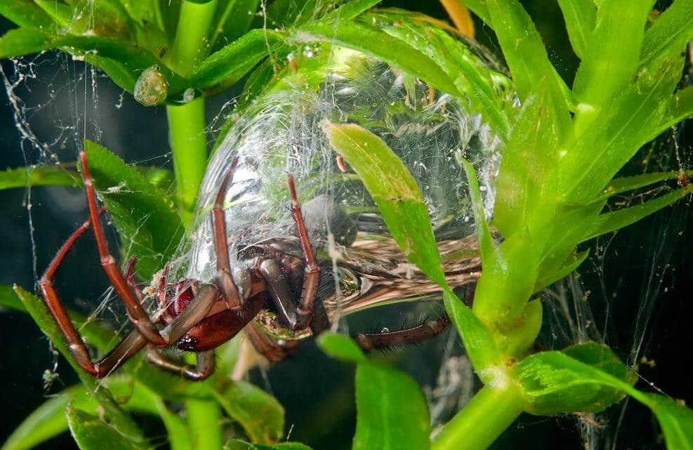 Строительство подводного гнезда водяным пауком