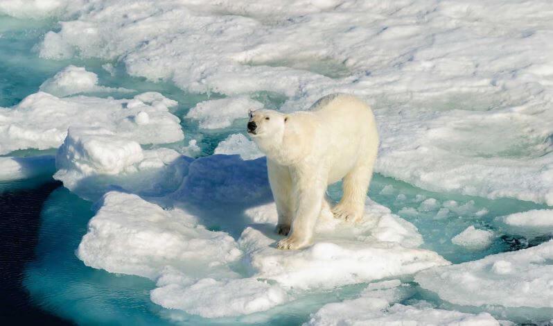 Полярный медведь на льдине