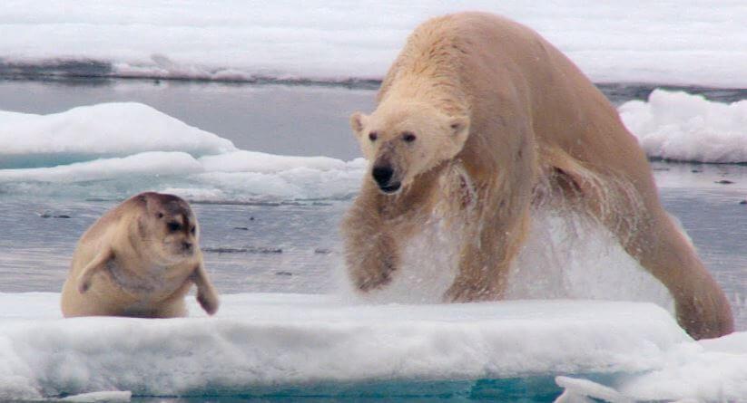 Охота белого медведья
