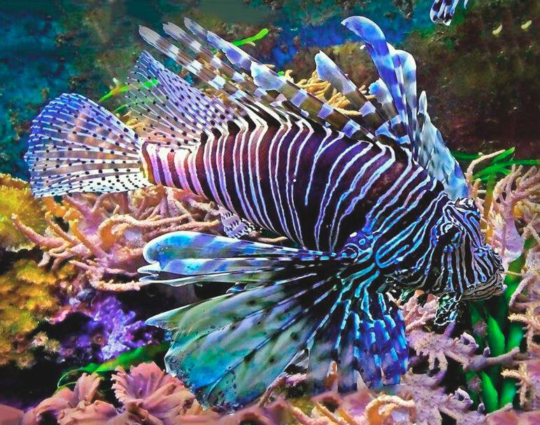 Крылатка-зебра фото