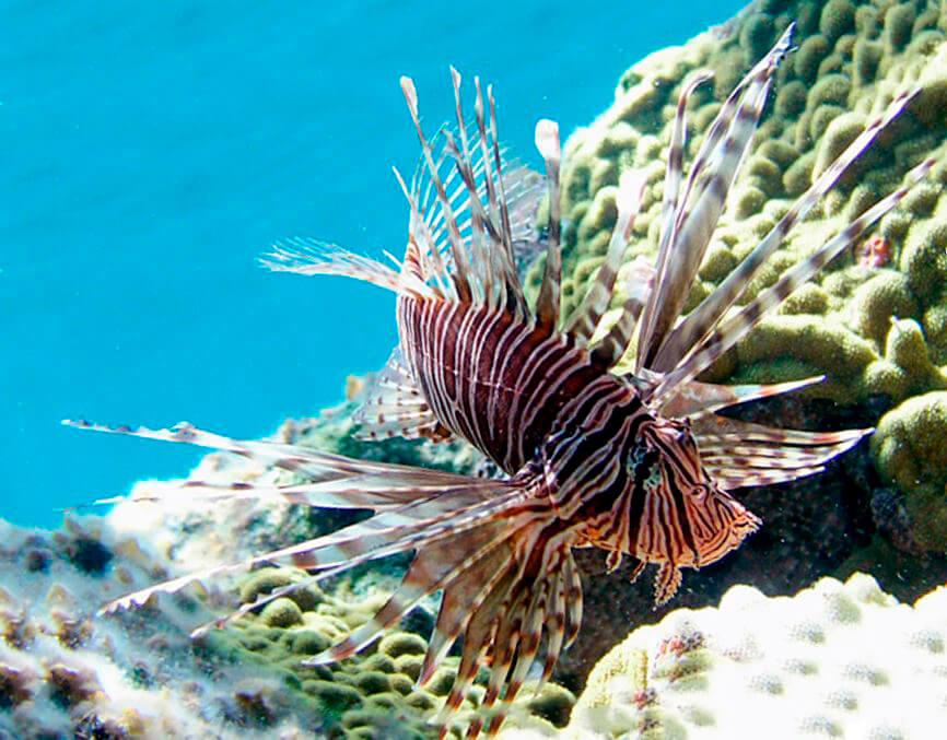 Коралловый риф с крылаткой-зеброй