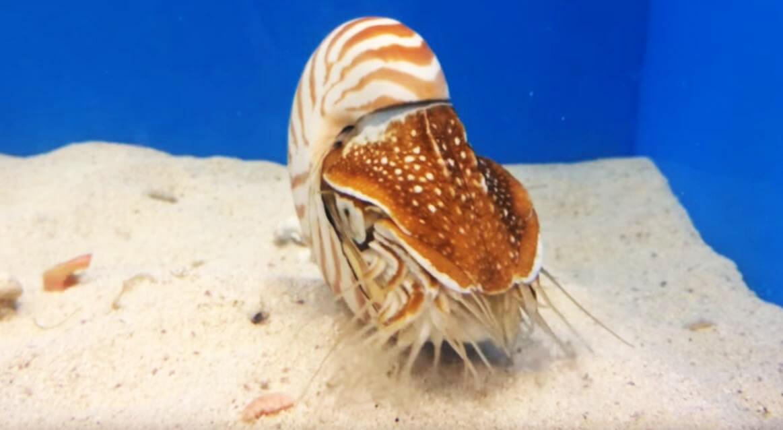 Nautilus pompilius добывает пропитание