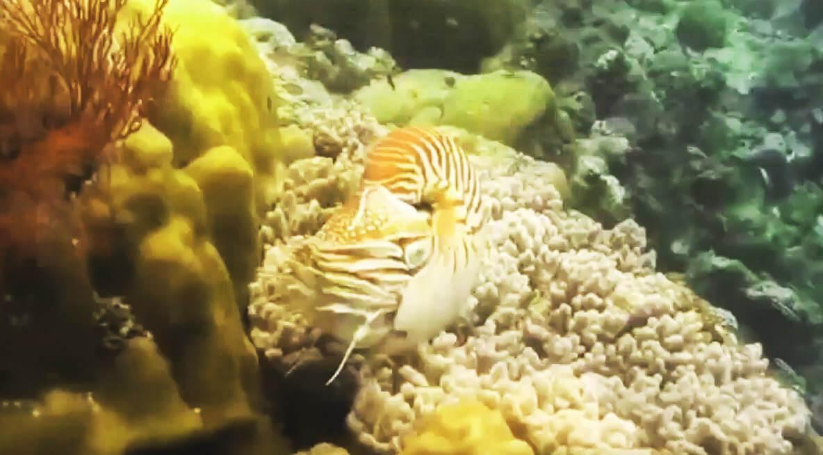 Наутилус помпилиус на рифе