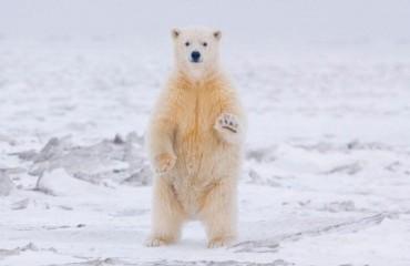 Білий ведмідь, або полярний ведмідь