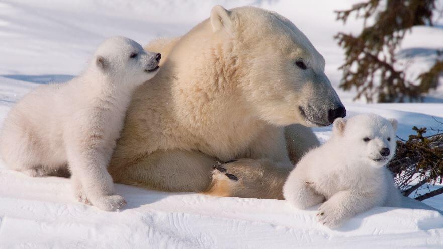 Семейство полярных медведей