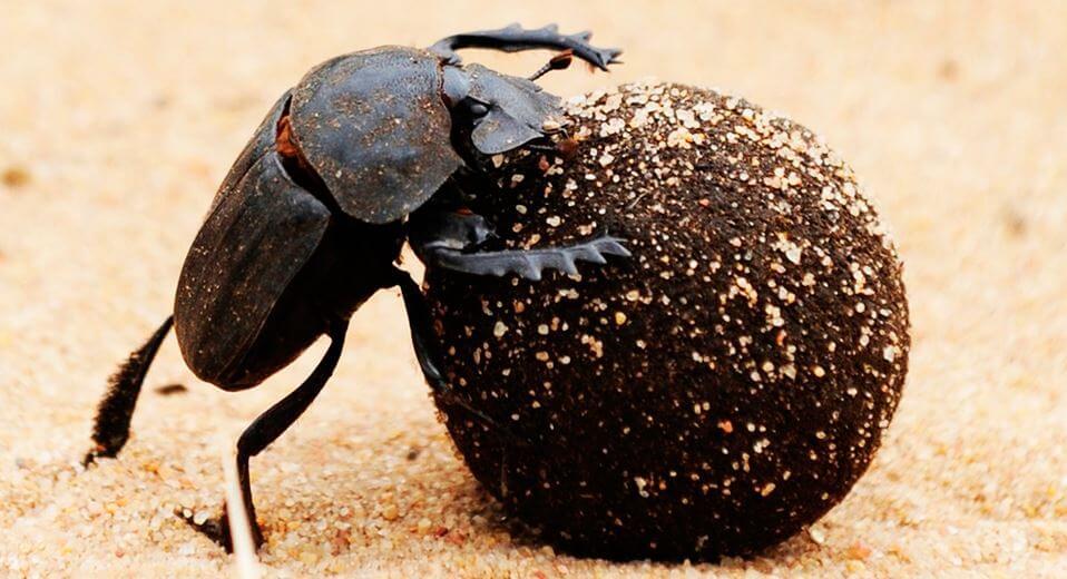 Огромный шар скарабея священного