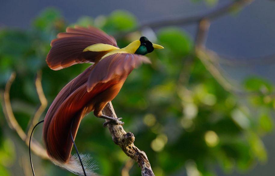 221 Императорская райская птица