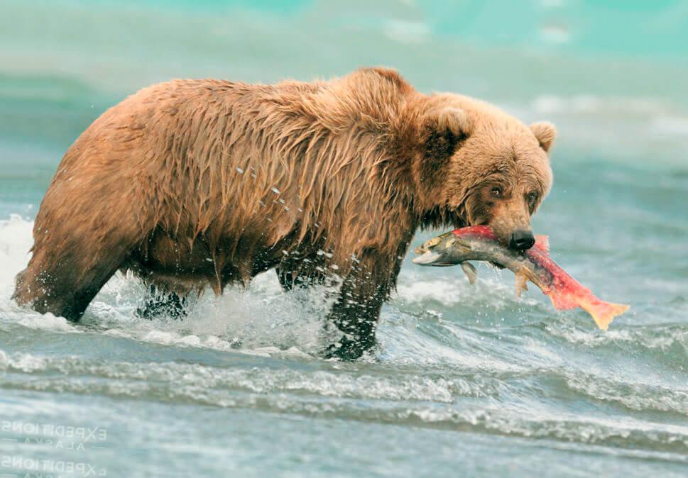 Добыча медведя гризли
