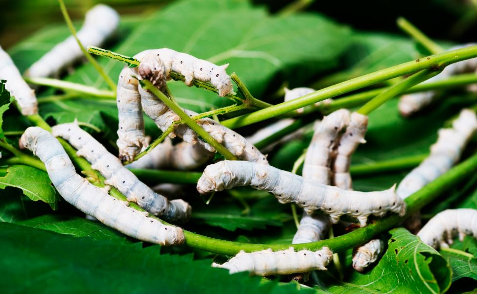 Гусеница тутового шелкопряда