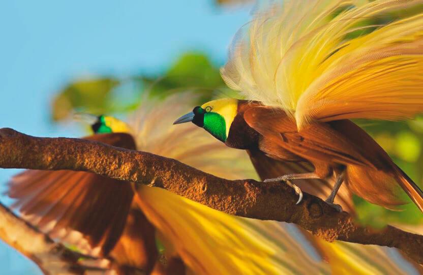 Картинка с императорской райской птицей