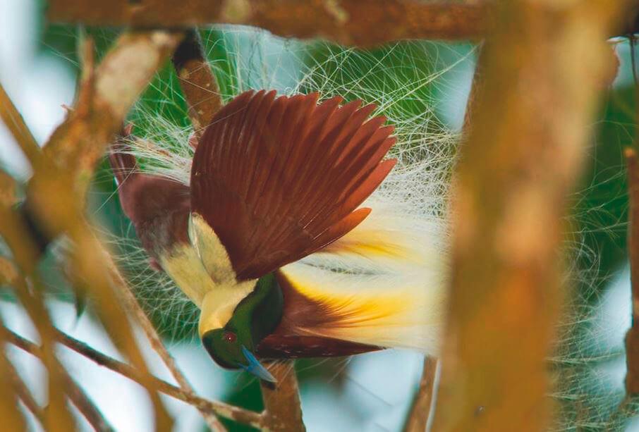 Императорская райская птица в сумерках