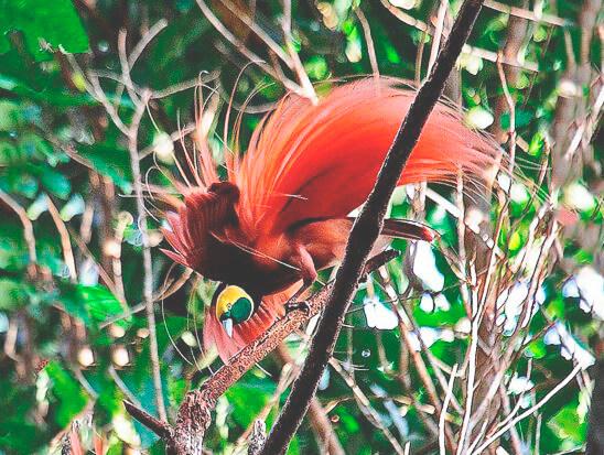 Императорская райская птица фото