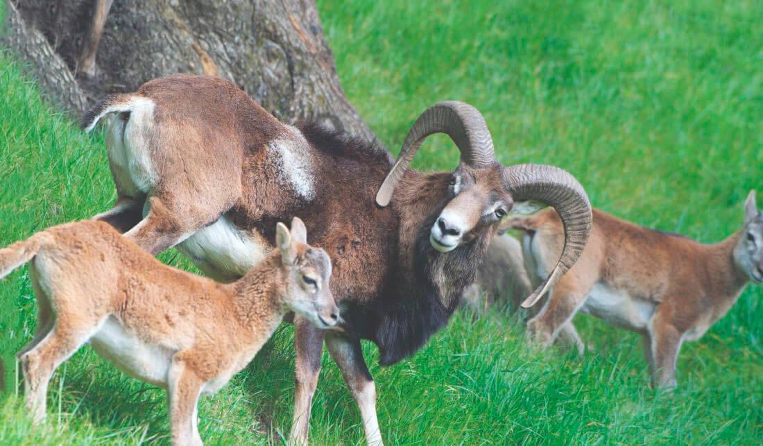 Самка муфлона европейского с детёнышем