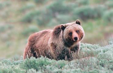 Грізлі, або ведмідь сірий