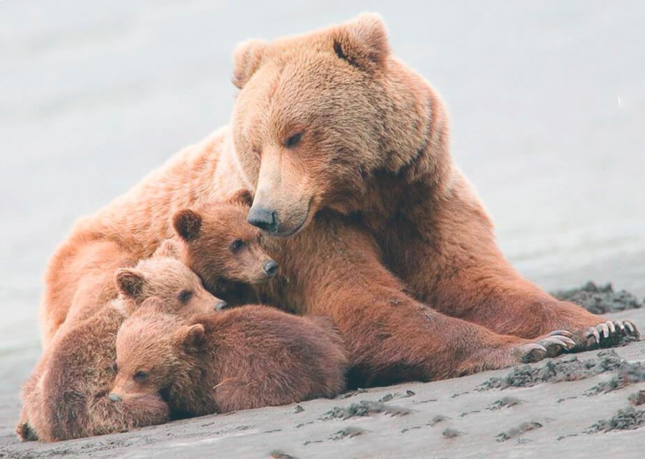 Семейка медведя гризли