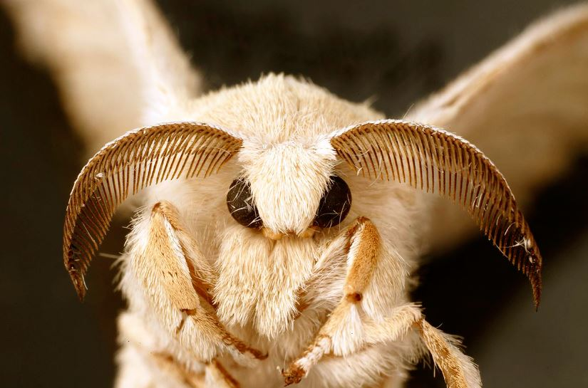 Внешний вид бабочки тутового шелкопряда