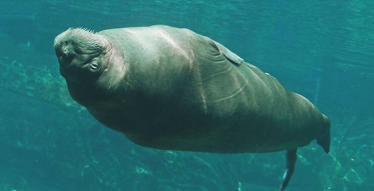 Плавание моржа