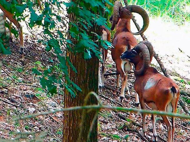 Муфлоны европейские в лесу