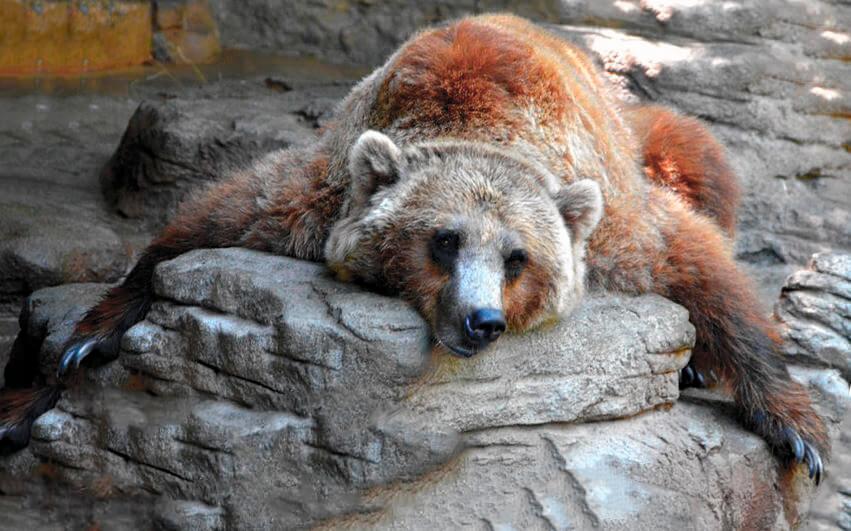 Картинка с медведем гризли