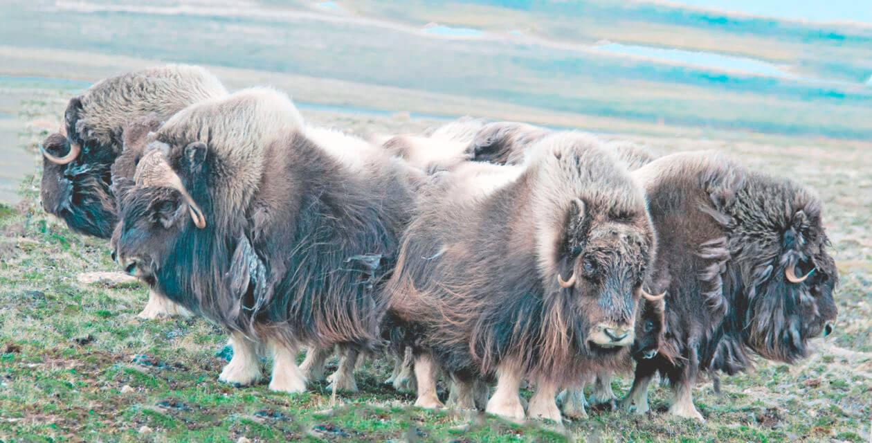 Круговая оборона овцебыков