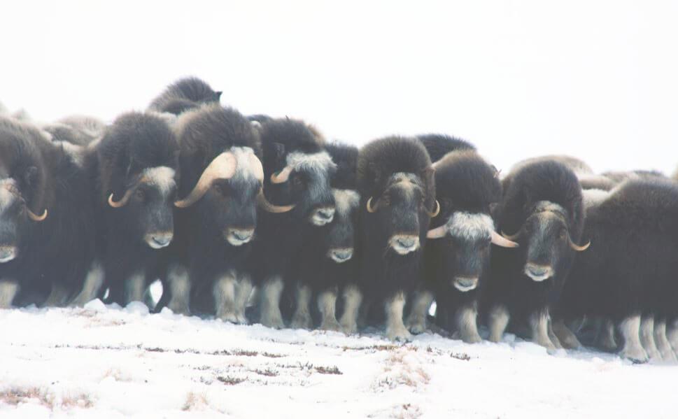 Стадо мускусных быков
