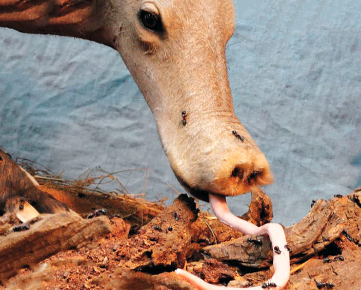 Муравьиный обед трубкозуба капского
