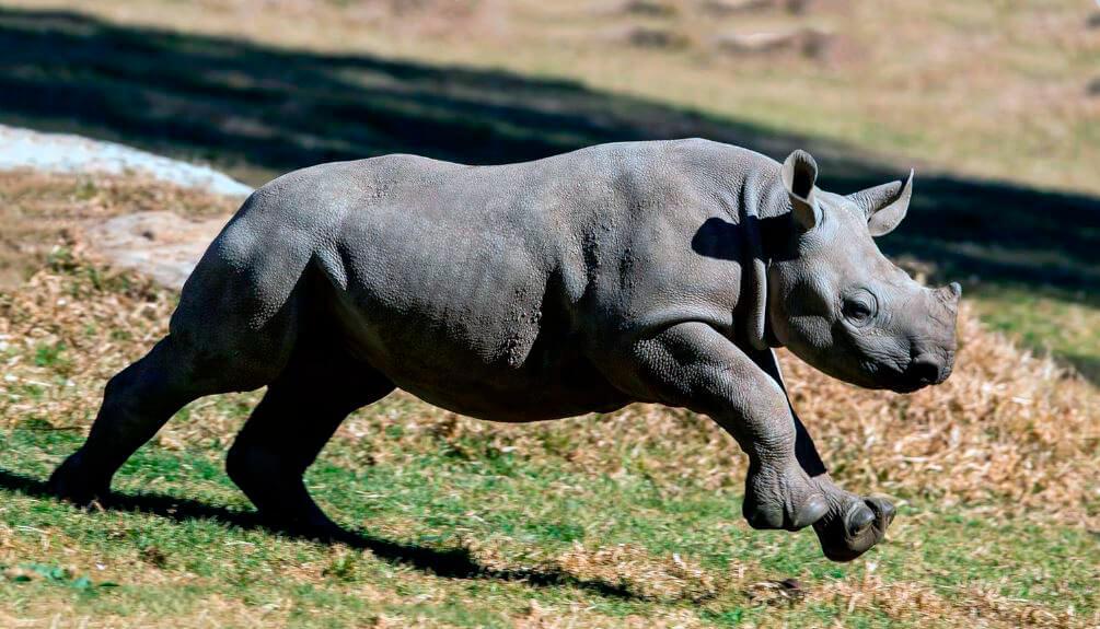 Черный носорог фото