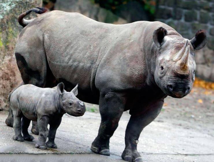 Самка чёрного носорога с детёнышем