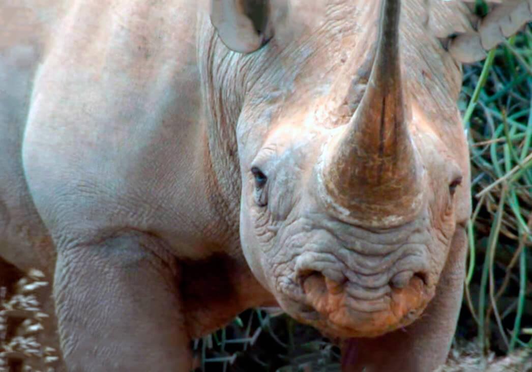 Мордочка черного носорога