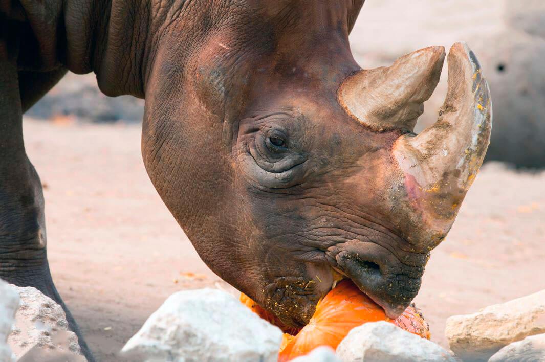 Поедание чёрным носорогом тыквы