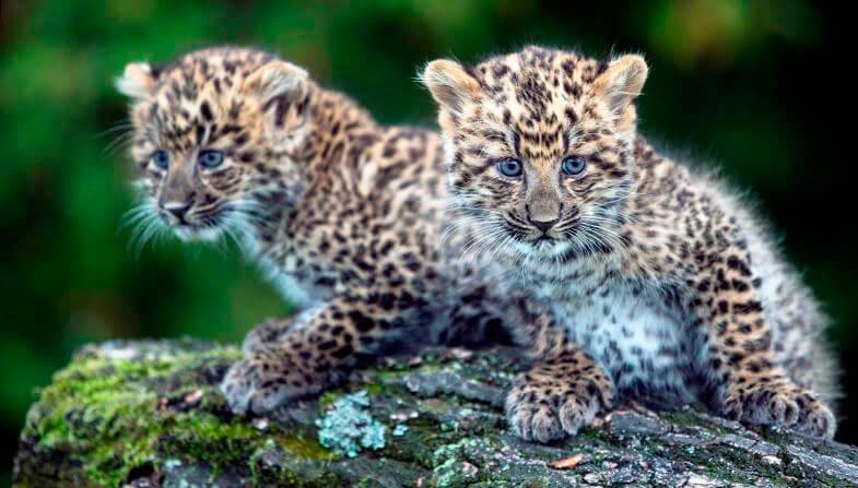 Детёныши леопарда