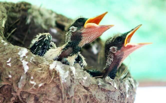 Птенцы сороки обыкновенной в гнезде