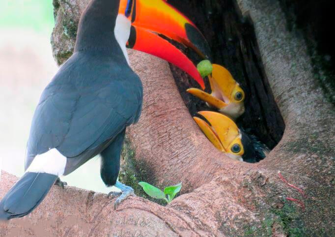 Гнездо тукана токо
