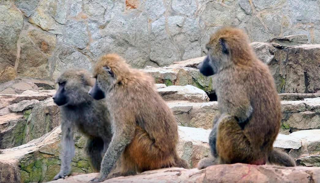 Группа бабуинов на отдыхе