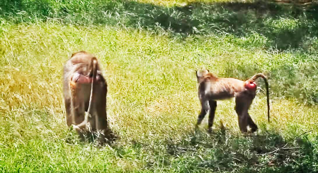 Домашний участок бабуинов
