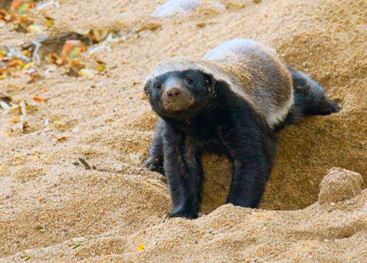 Медоед роет норку в песке