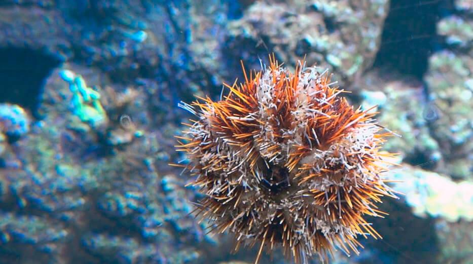 Морской еж съедобный фото