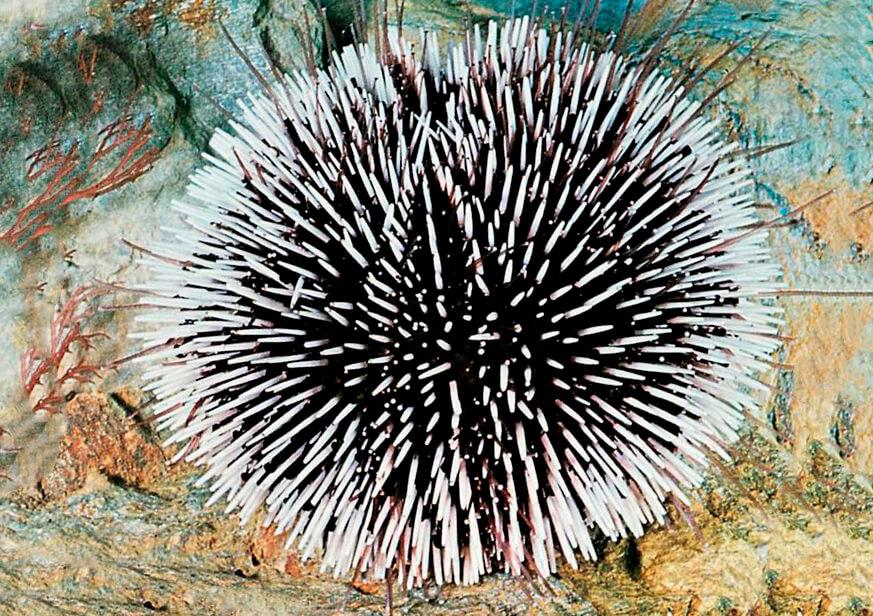 Картинка с съедобным морским ежом