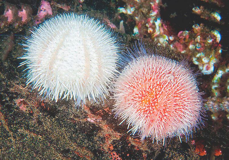 Пара съедобных морских ежей