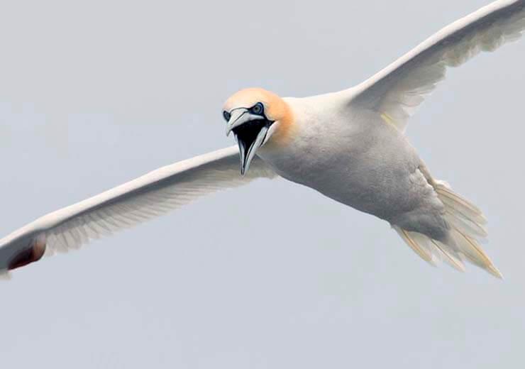 Полёт олуши северной