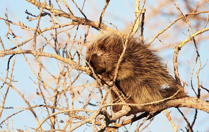 Североамериканский дикобраз на дереве