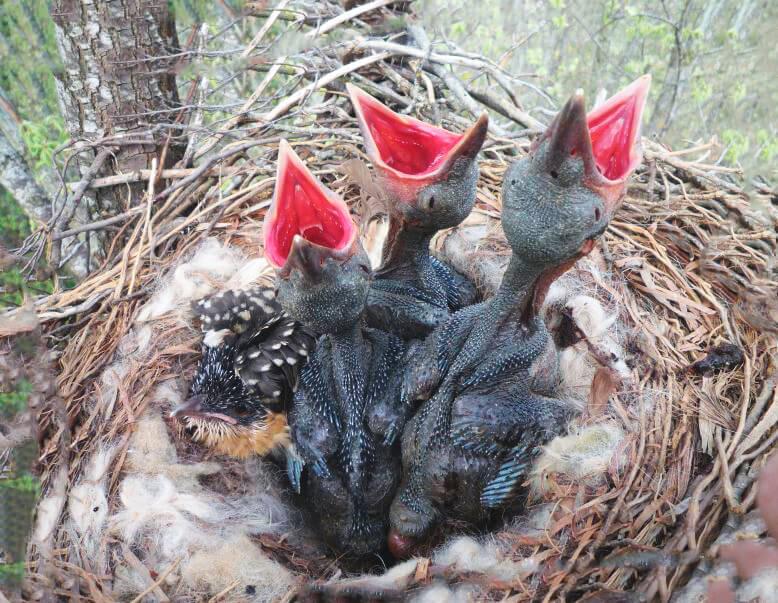 Птенцы кукушки обыкновенной