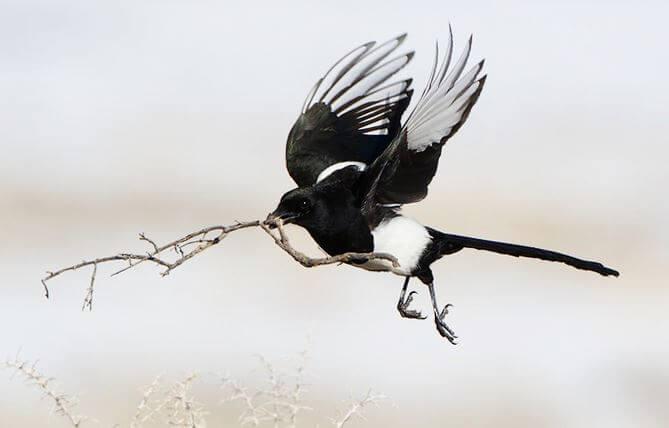Полёт сороки обыкновенной