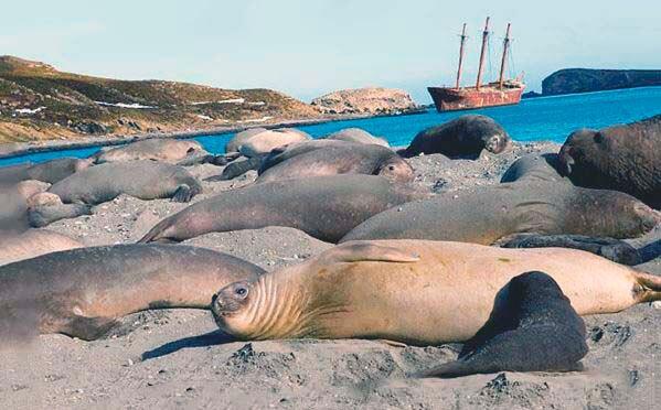 Слоны морские южные на берегу