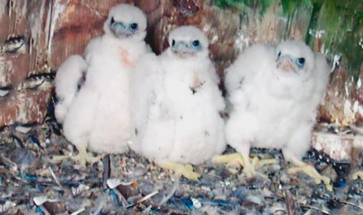 Птенцы сапсана