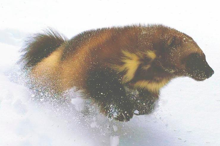 Зимняя охота росомахи