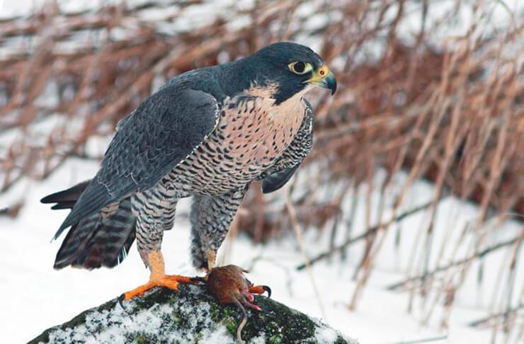 Falco peregrinus в зимнем лесу