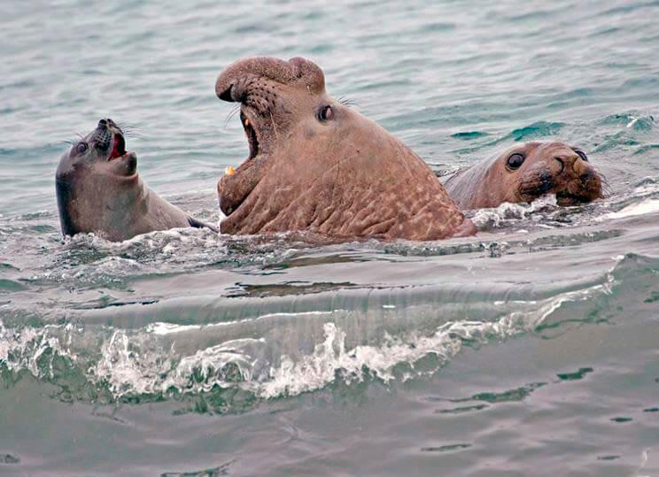 Слон морской южный в море